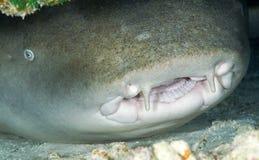 NURSE SHARK/nebrius ferrugineus Royalty Free Stock Images