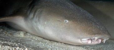 NURSE SHARK/nebrius ferrugineus Stock Photography