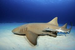Nurse Shark royalty free stock image