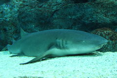 Nurse shark resting on bottom Royalty Free Stock Photography