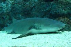 Nurse shark resting on bottom Royalty Free Stock Photography