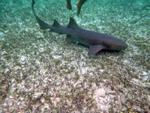 Nurse shark in the Bay Islands of Belize royalty free stock photography