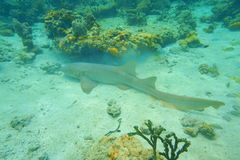 Nurse shark on the seabed in the Caribbean sea Stock Images