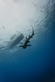 Nurse shark swims underwater parallel to diving boat Stock Image