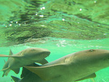 Nurse Sharks Belize Royalty Free Stock Photos