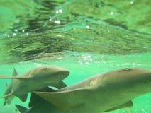 Nurse Sharks Belize. Photo of two nurse sharks underwater in Belize Royalty Free Stock Photos