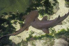 Nurse Sharks, Islamorada Key, FL Theater of the Sea Stock Photo
