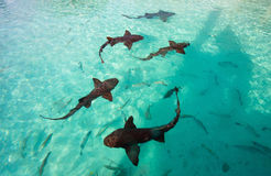 Nurse sharks Royalty Free Stock Images