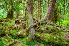 Nurse Tree in Olympic National Park Royalty Free Stock Images