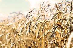 Nurse wheat. Ear of wheat like guards Royalty Free Stock Image