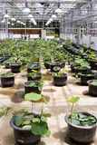 Nursery. Large nursery for cultivating  lotuses Stock Images