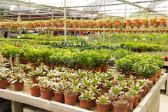 Nursery. Greenhouse full of beautiful plants perfect to beautiful home and garden Stock Image