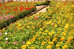 Nursery. Dahlia plants at bloom beds in a greenhouse Royalty Free Stock Image