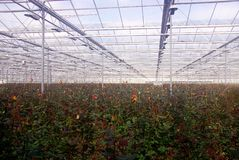 Nursery. Red-yellow roses in a greenhouse at a rose nursery Royalty Free Stock Photography