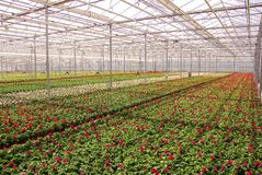 Nursery. Greenhouse with cranes bill plants at a nursery Royalty Free Stock Image