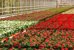 Nursery. Greenhouse with cranes bill plants at a nursery Stock Photo