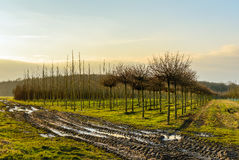 Nursery of avenue trees in the winter season Royalty Free Stock Image
