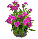 Nursery bags with dianthus flowers Stock Photo