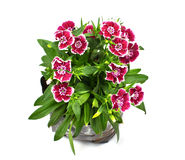 Nursery bags with dianthus flowers Royalty Free Stock Photography
