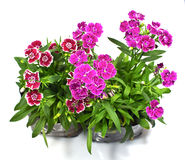 Nursery bags with dianthus flowers Stock Images