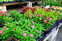 Nursery Flower Sales Stock Photography