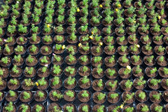 Nursery of flowers. And plants for garden in greenhouse Stock Photos