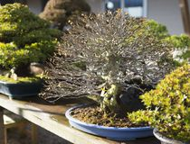 Nursery garden bonsai in japan stock image