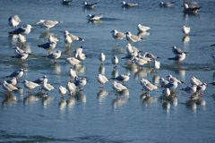 Nursery of water birds on a frozen river Royalty Free Stock Photography
