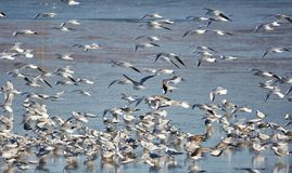Nursery of water birds on a frozen river Stock Photography
