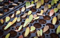 Nursery Kalanchoe Crassulaceae in pot. Garden stock photography