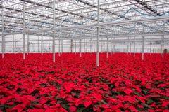 Abundance Red poinsettia flowers. Nursery many Christmas red poinsettias. Horizontal royalty free stock images