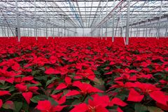 Abundance Red poinsettia flowers. Nursery many Christmas red poinsettias. Horizontal royalty free stock photography