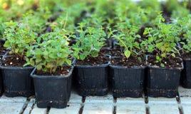 Nursery of oregano plants Stock Photo