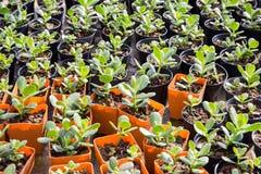 Nursery plant in orange plastic pot in home's garden, Thailand Royalty Free Stock Image