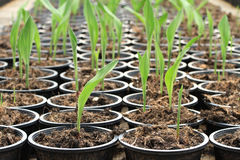 Nursery plant of Siam tulip Stock Photography