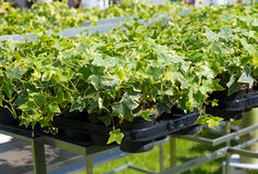 Nursery plants ivy Hedera helix. Nursery garden of decorative plants and seedlings Hedera helix royalty free stock images
