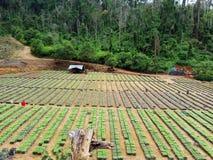 Nursery Plants: Jabon Tree - Anthocephalus Cadamba part 1 Royalty Free Stock Photos