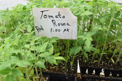 Nursery Red Roma Tomato Seedlings. Red roma tomato seedlings growing in packs of three for sale at a nursery royalty free stock image
