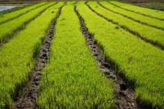 Nursery Rice in Northern Thailand Stock Images