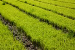 Nursery Rice in Northern Thailand Royalty Free Stock Photo
