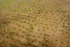 Nursery Rice in Northern Thailand Stock Image
