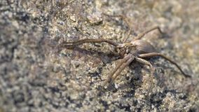 Nursery spider on a rock stock video footage