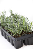 Nursery tray of young plant seedlings Stock Photos