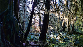 A Nursery Tree. The roots of a nursery tree in the Hoh Rain Forest royalty free stock image