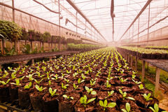 Nursery tree seedlings Royalty Free Stock Image