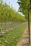 Nursery Trees in the Spring Time. Rows of trees at a tree nursery. These trees might be used for public works or for private gardens royalty free stock photo