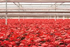 Warehouse of Poinsettia flowers for the holidays Stock Photo
