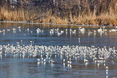 Nursery of water birds on a frozen river Royalty Free Stock Photos