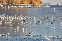 Nursery of water birds on a frozen river Royalty Free Stock Photo