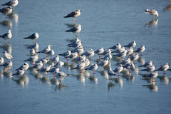 Nursery of water birds on a frozen river Stock Photo